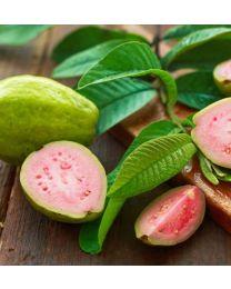 Guava illat