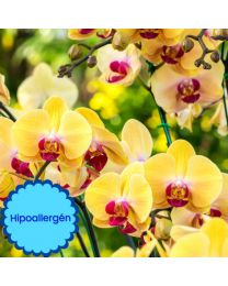 Orchidea hipoallergén illat